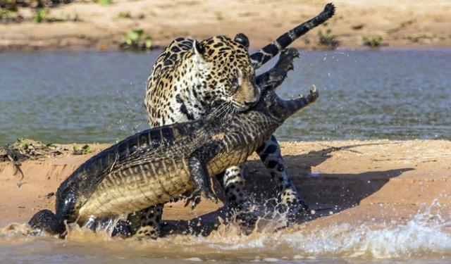 jaguar-epitithete-se-krokodeilo